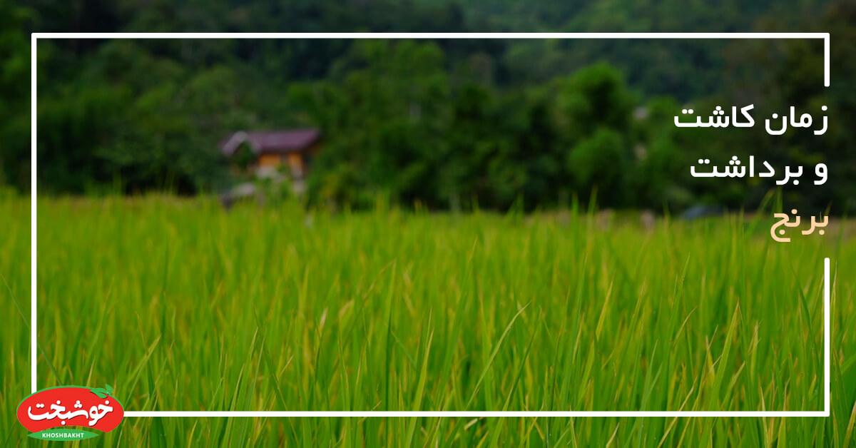 زمان کاشت و برداشت برنج