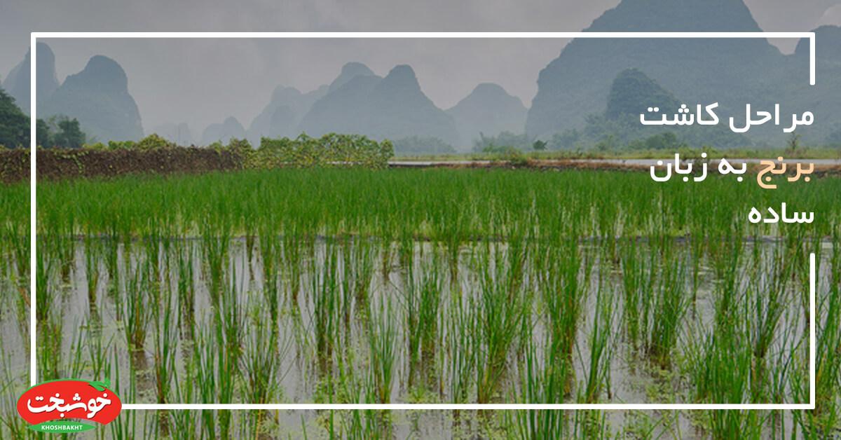 مراحل کاشت برنج به زبان ساده