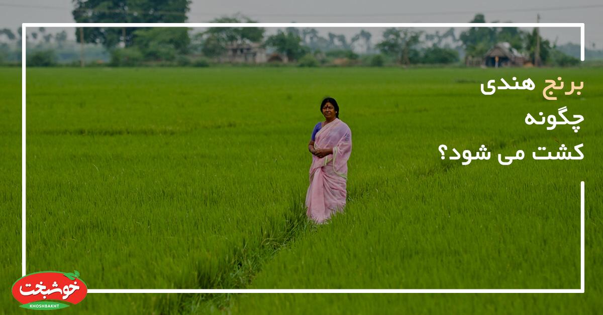 برنج هندی چگونه کشت می شود ؟